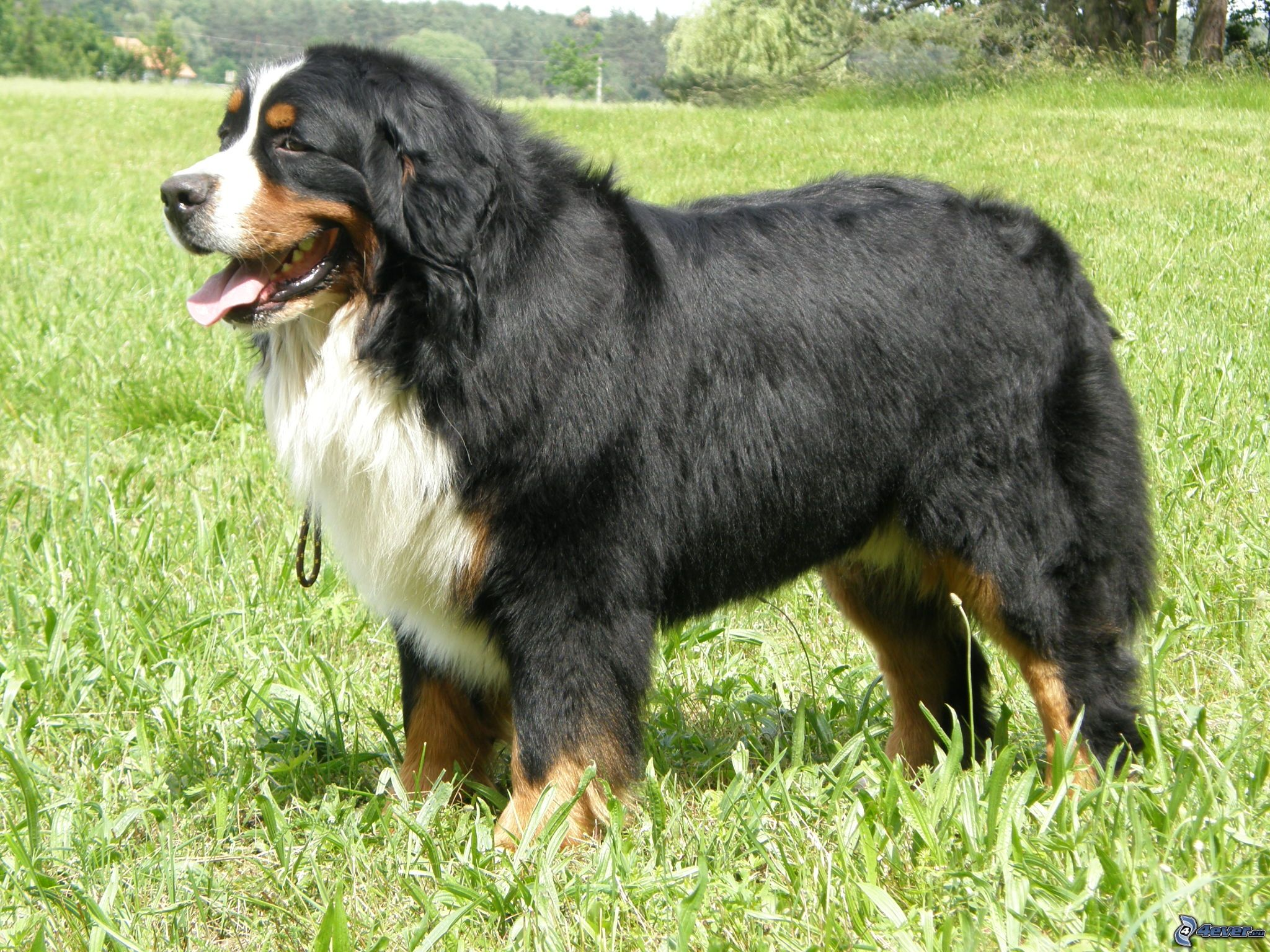 the complete bernese mountain dog