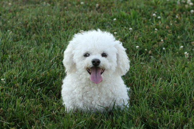 Bichon Frise History Personality Appearance Health And