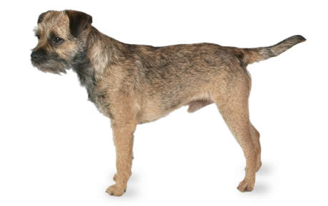 Border Terrier History, Personality, Appearance, Health ...
