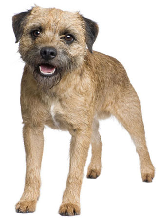 Border Terrier History Personality Appearance Health