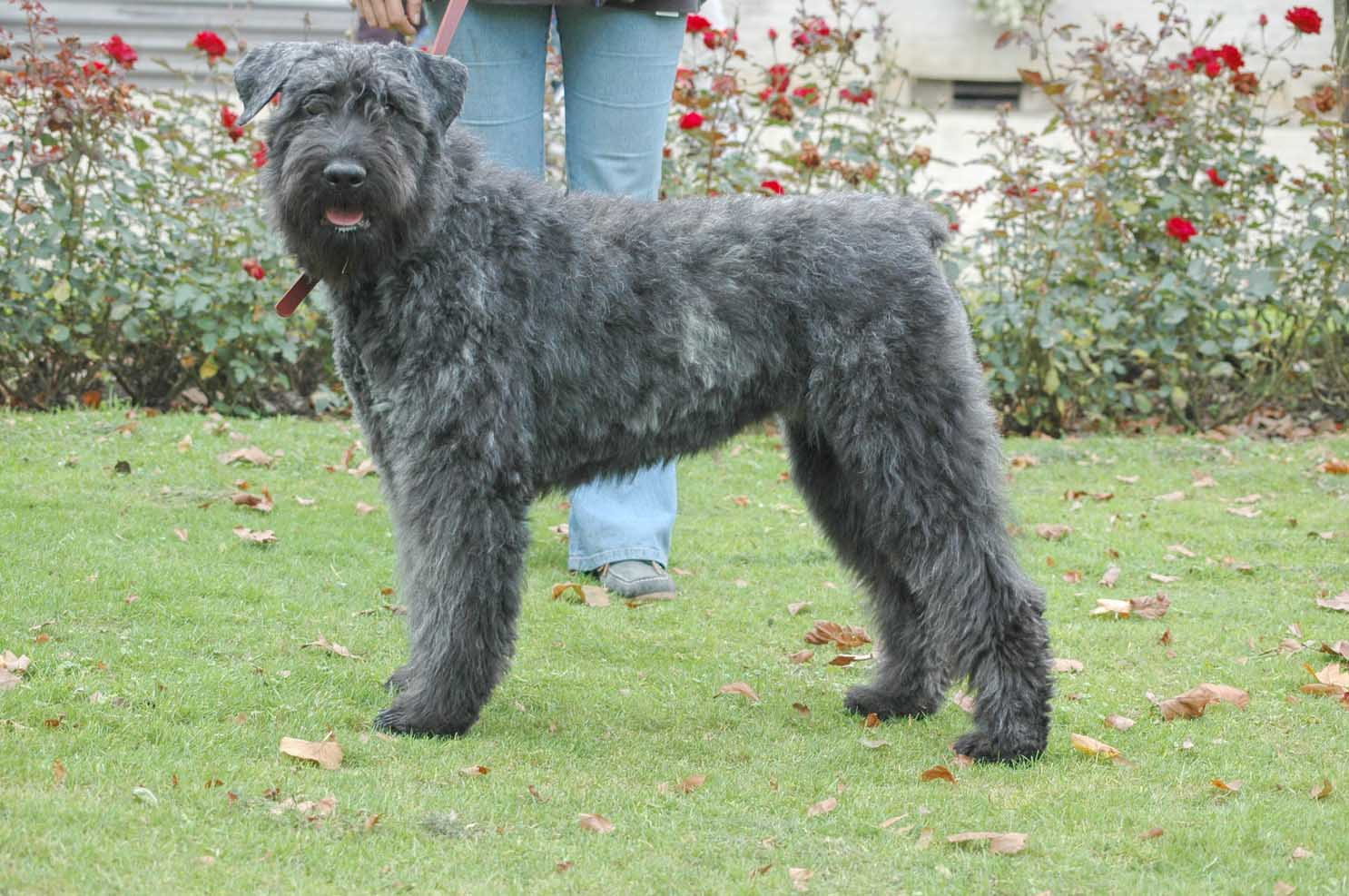 Bouvier Des Flandres History Personality Appearance