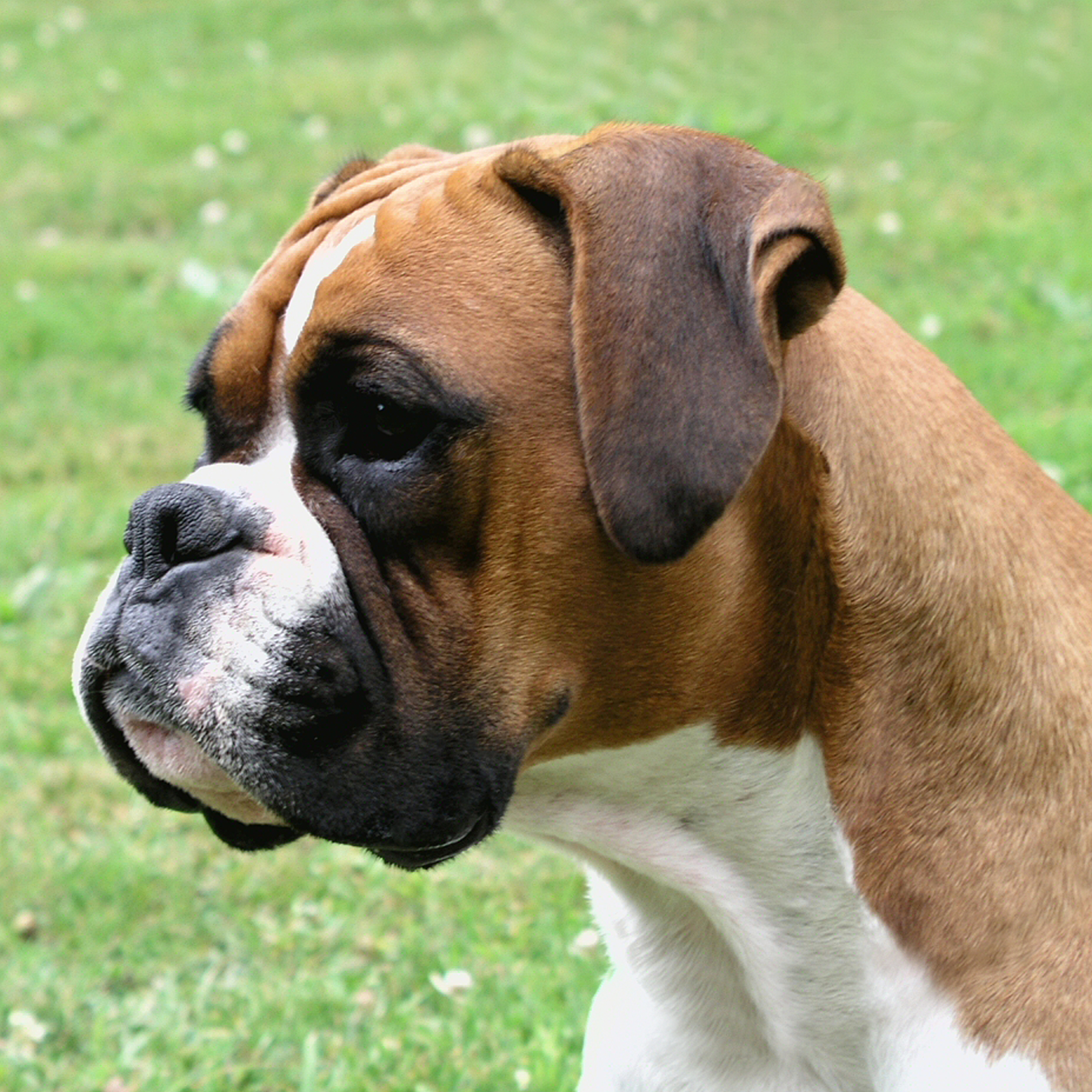 Boxer History, Personality, Appearance, Health and Pictures