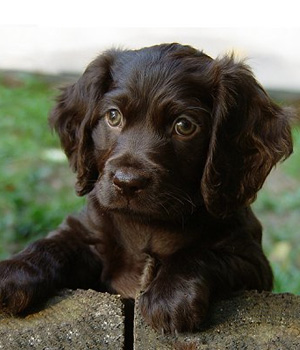 boykin spaniel history personality appearance health and pictures