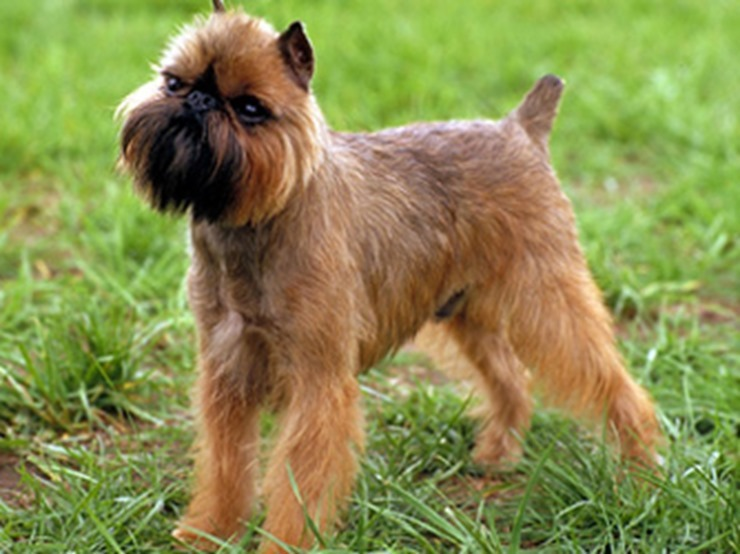 Brussels Griffon History, Personality, Appearance, Health ...