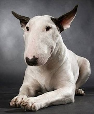 Bull terrier history personality appearance health and for English terrier