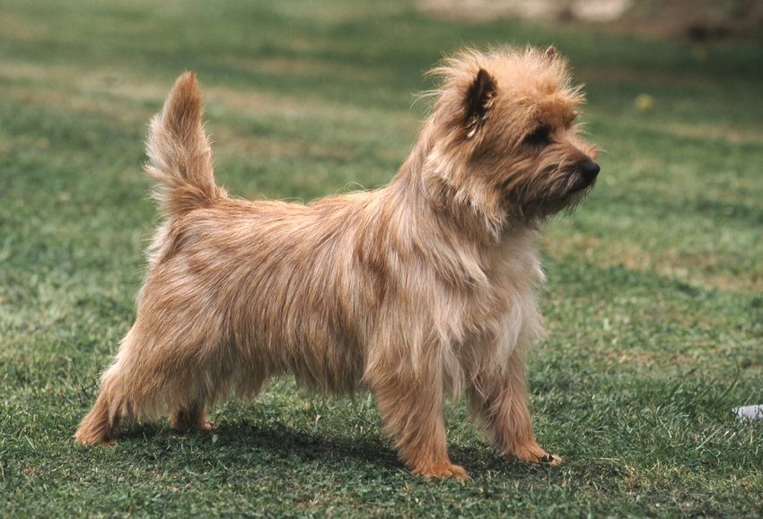 cairn terrier history personality appearance health and pictures