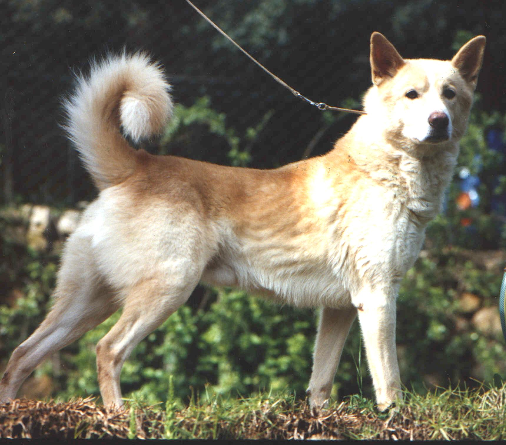 Canaan Dog History Personality Appearance Health And