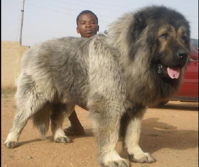dog mountain tibetan mastiff dog breeds picture