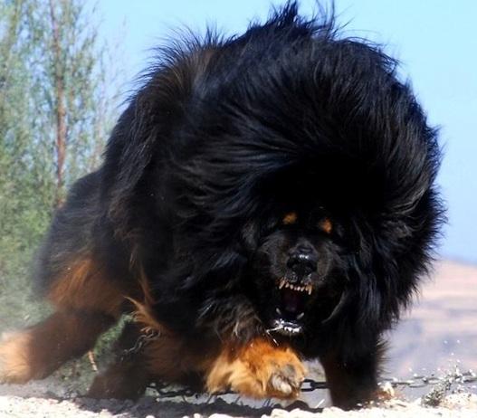Rottweiler Vs German Shepherd Comparison