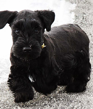 Cesky Terrier History Personality Appearance Health And