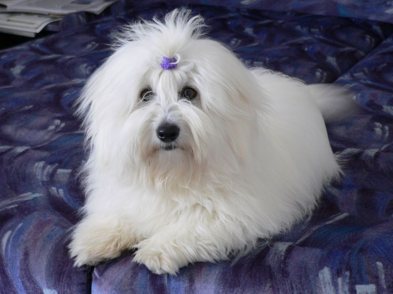 Coton de Tulear History, Personality, Appearance, Health and Pictures