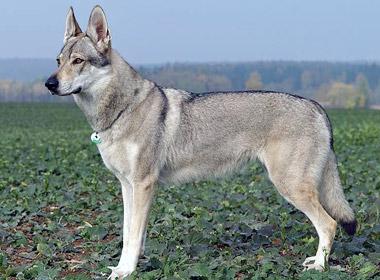 Czechoslovakian Wolfdog History Personality Appearance