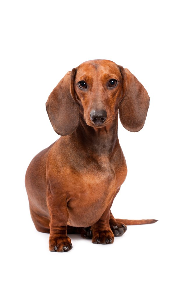 Dachshund History Personality Appearance Health And