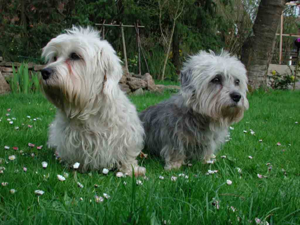 Dandie Dinmont Terrier History Personality Appearance