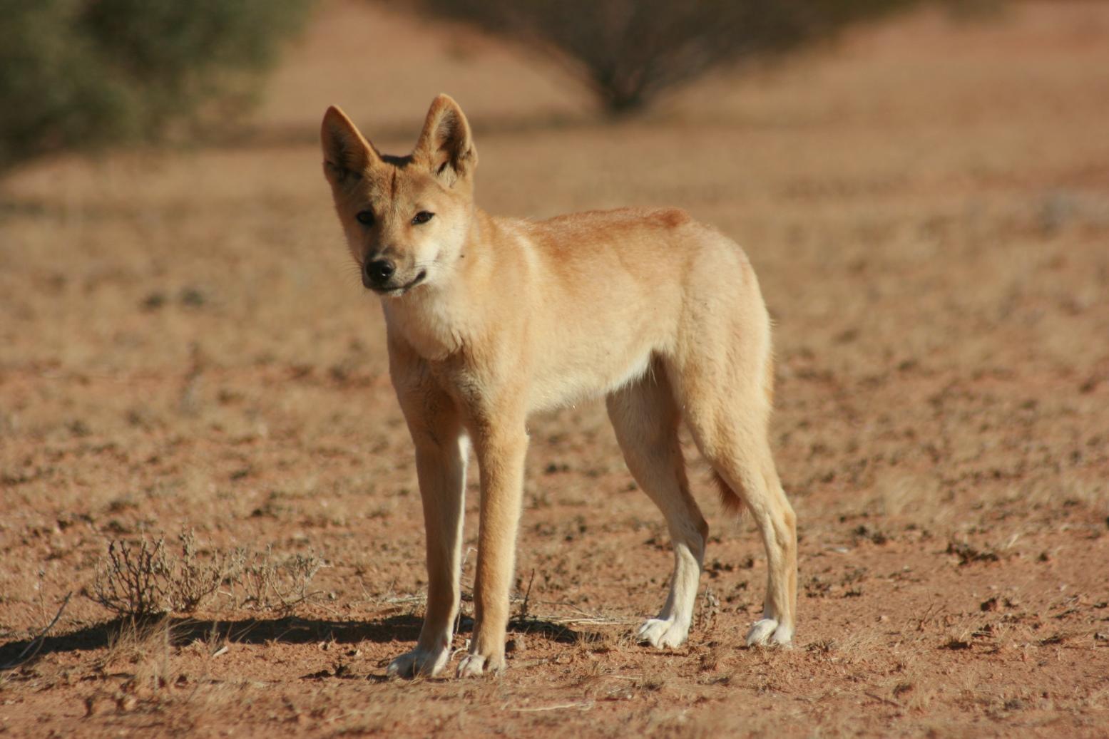 Dingo History, Persona...