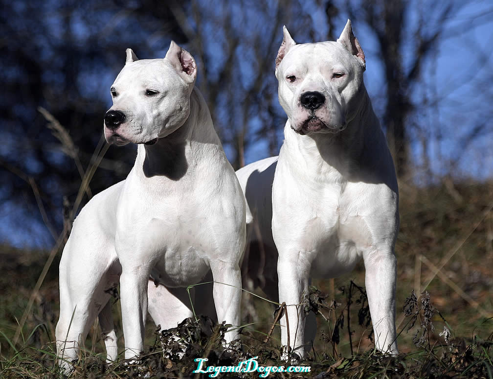 Dogo Argentino History, Personality, Appearance, Health and