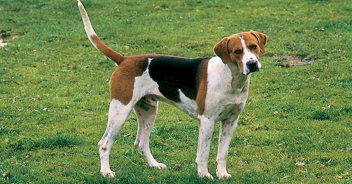 English Foxhound History, Personality, Appearance, Health ...