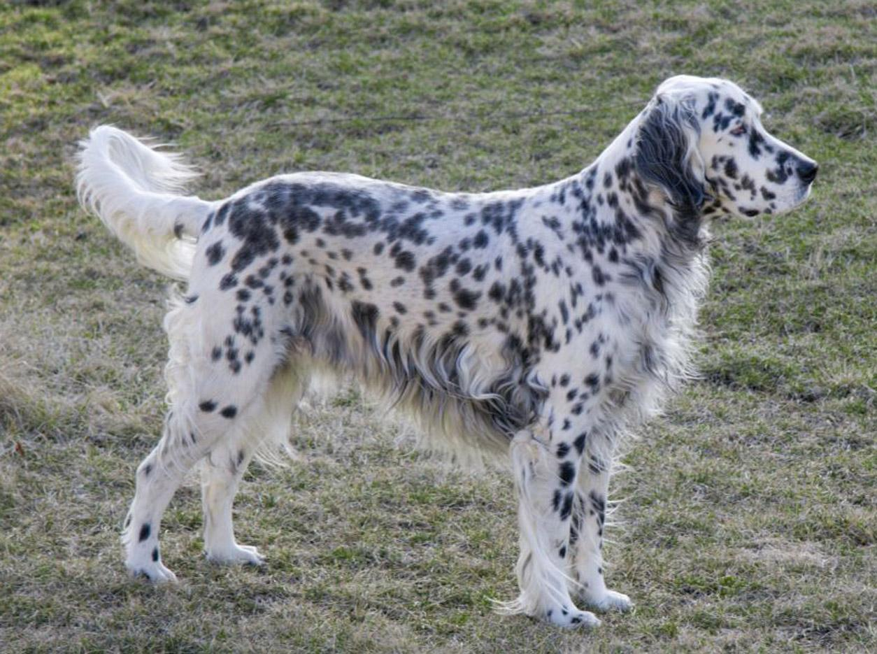 English Setter Dog Food