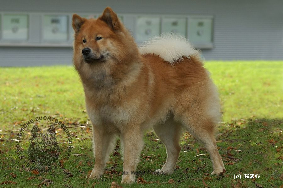 Eurasier History, Personality, Appearance, Health and Pictures White Parson Russell Terrier