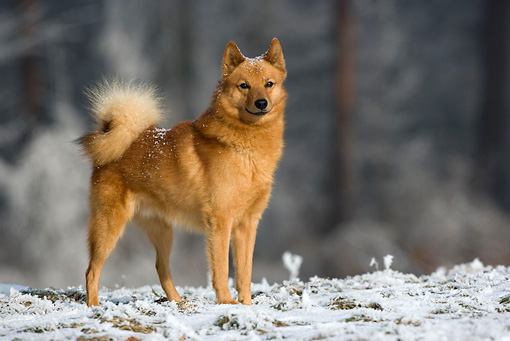 Finnish Spitz History Personality Appearance Health And