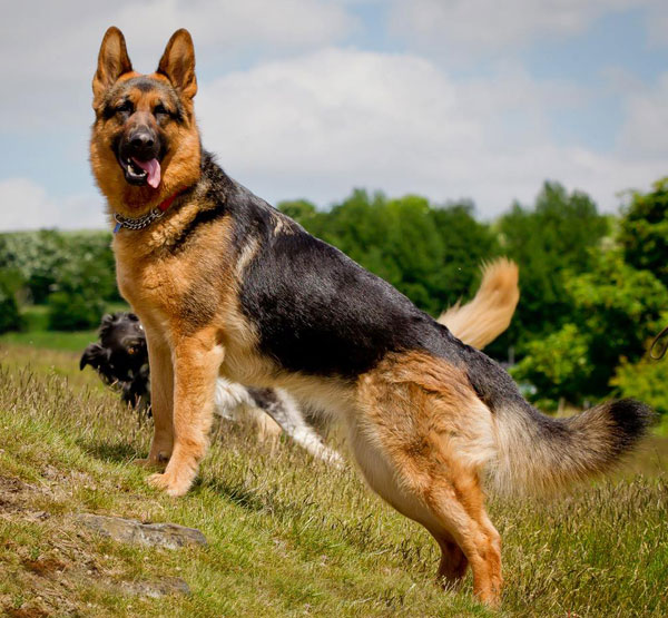 German Shepherd History, Personality, Appearance, Health ...