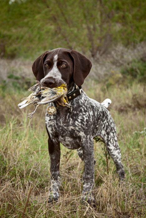 german short haired pointer - photo #18