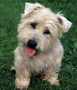 Glen Of Imaal Terrier History Personality Appearance