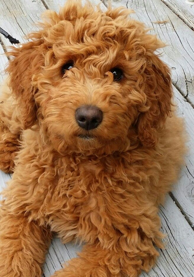 Goldendoodle History Personality Appearance Health And