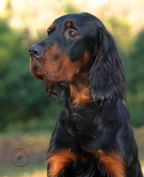 gordon setter history personality appearance health and