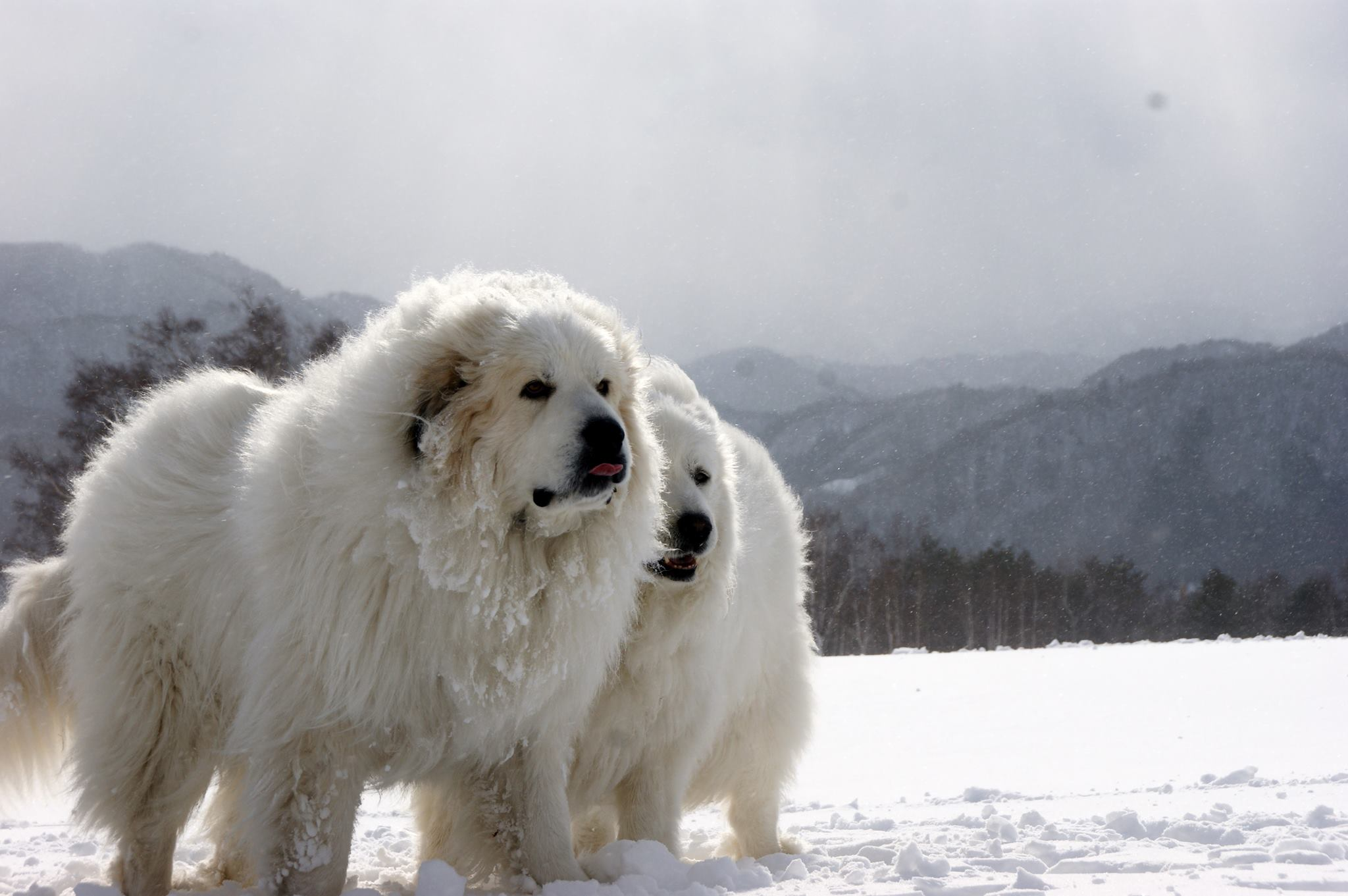 Great Pyrenees Dog Names Male
