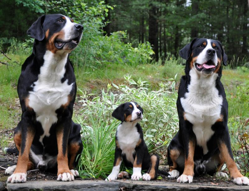 Entlebucher Mountain Dog Puppies Uk