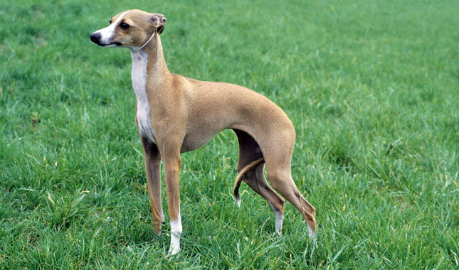 Greyhound History Personality Appearance Health And