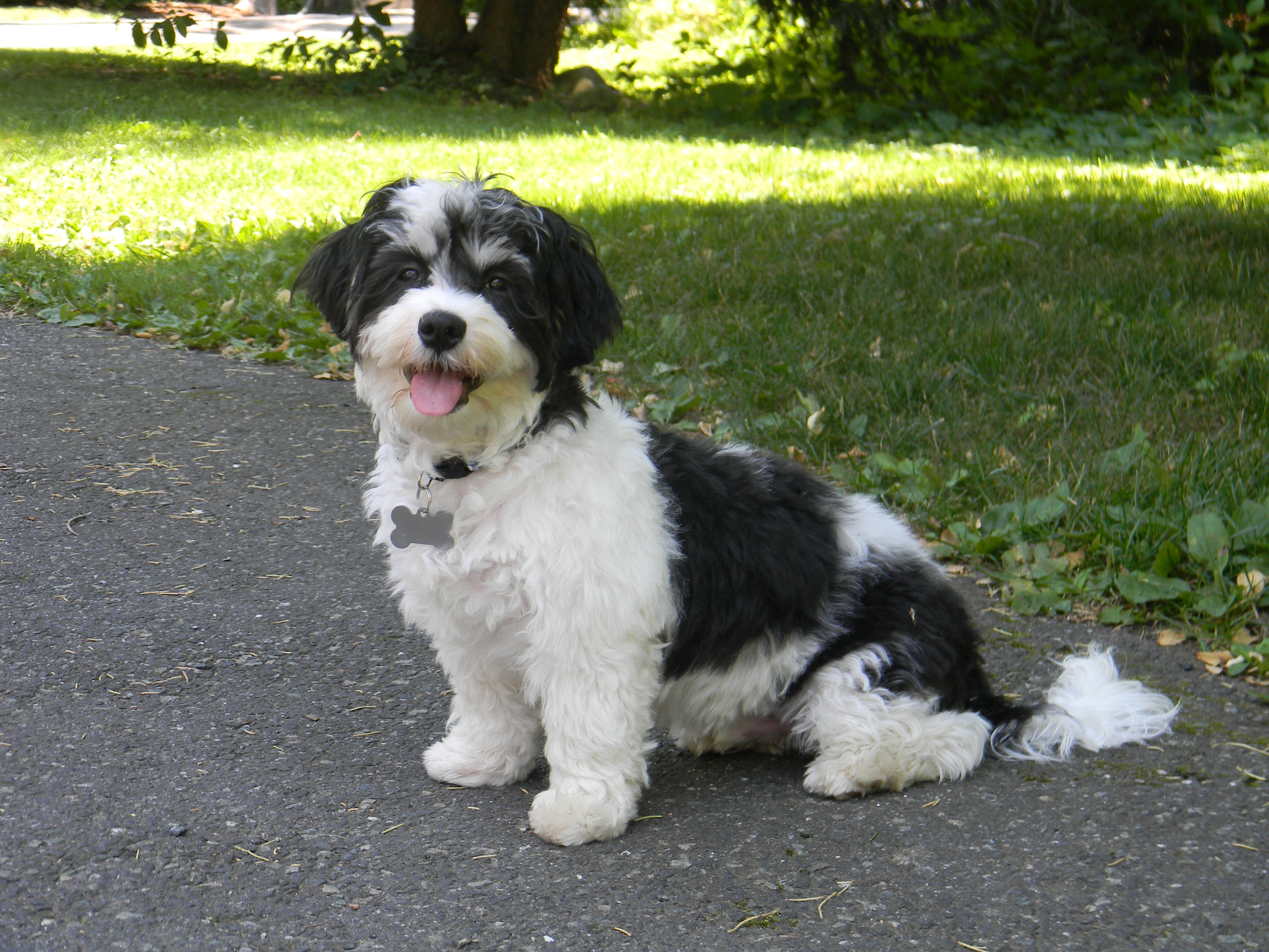 Havanese History, Personality, Appearance, Health and Pictures