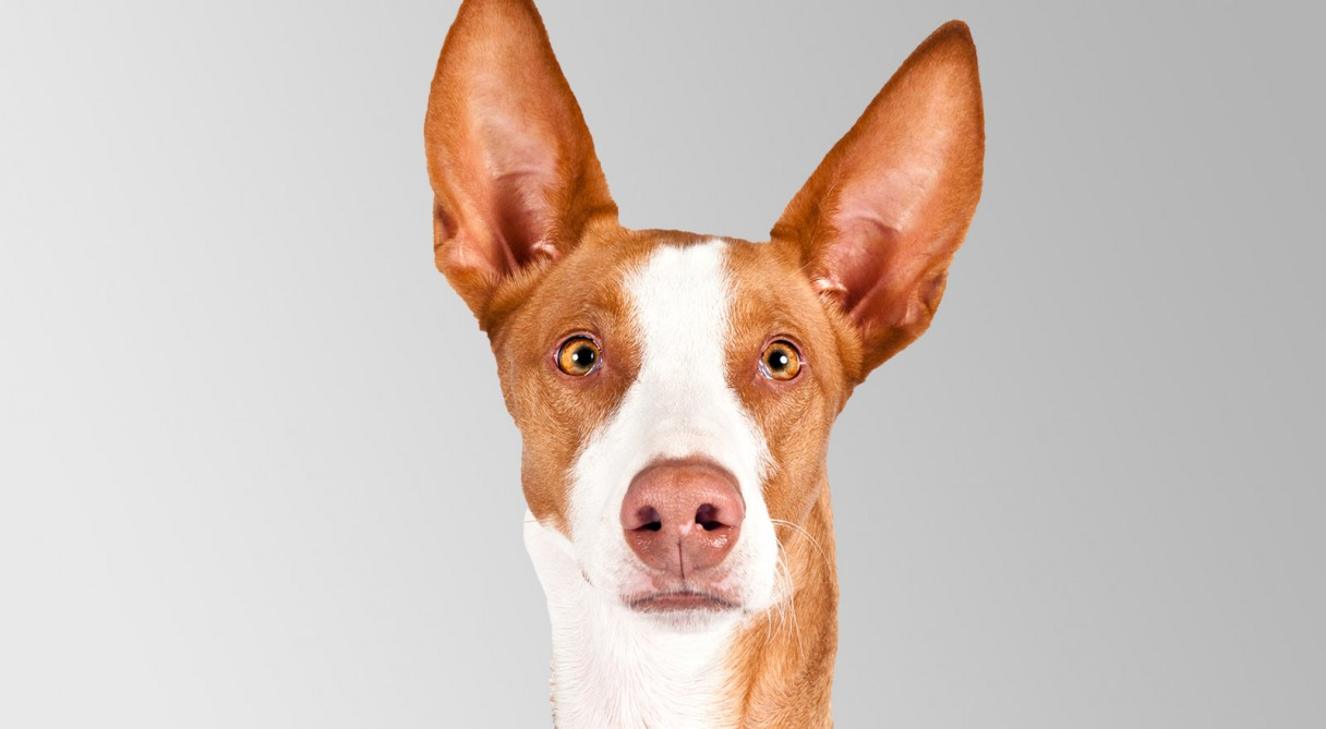 Ibizan Hound History Personality Appearance Health And