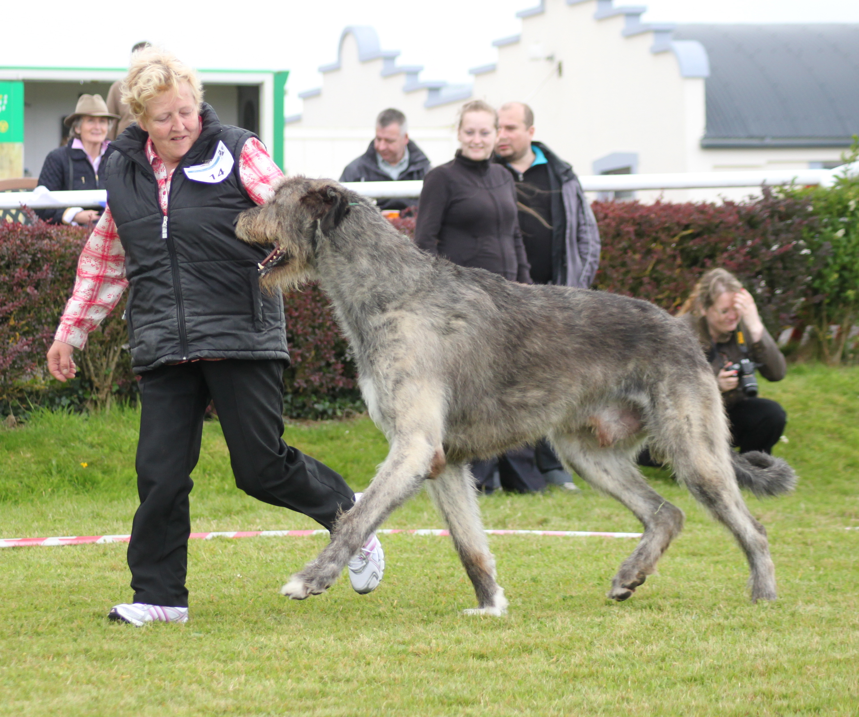 Irish Wolfhound - Wikipedia