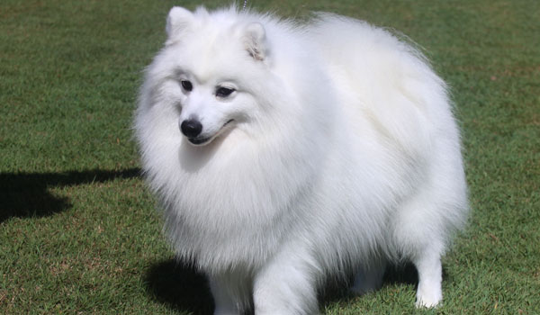 Japanese Spitz History Personality Appearance Health