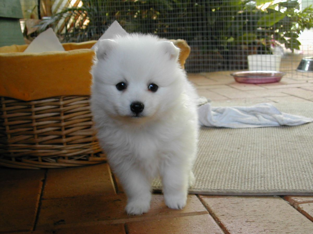 Japanese Spitz History Personality Appearance Health And Pictures