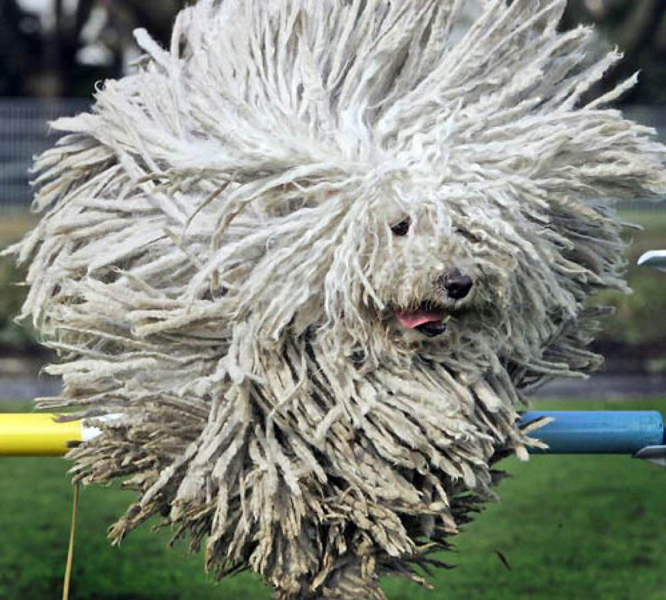 Komondor History Personality Appearance Health And Pictures
