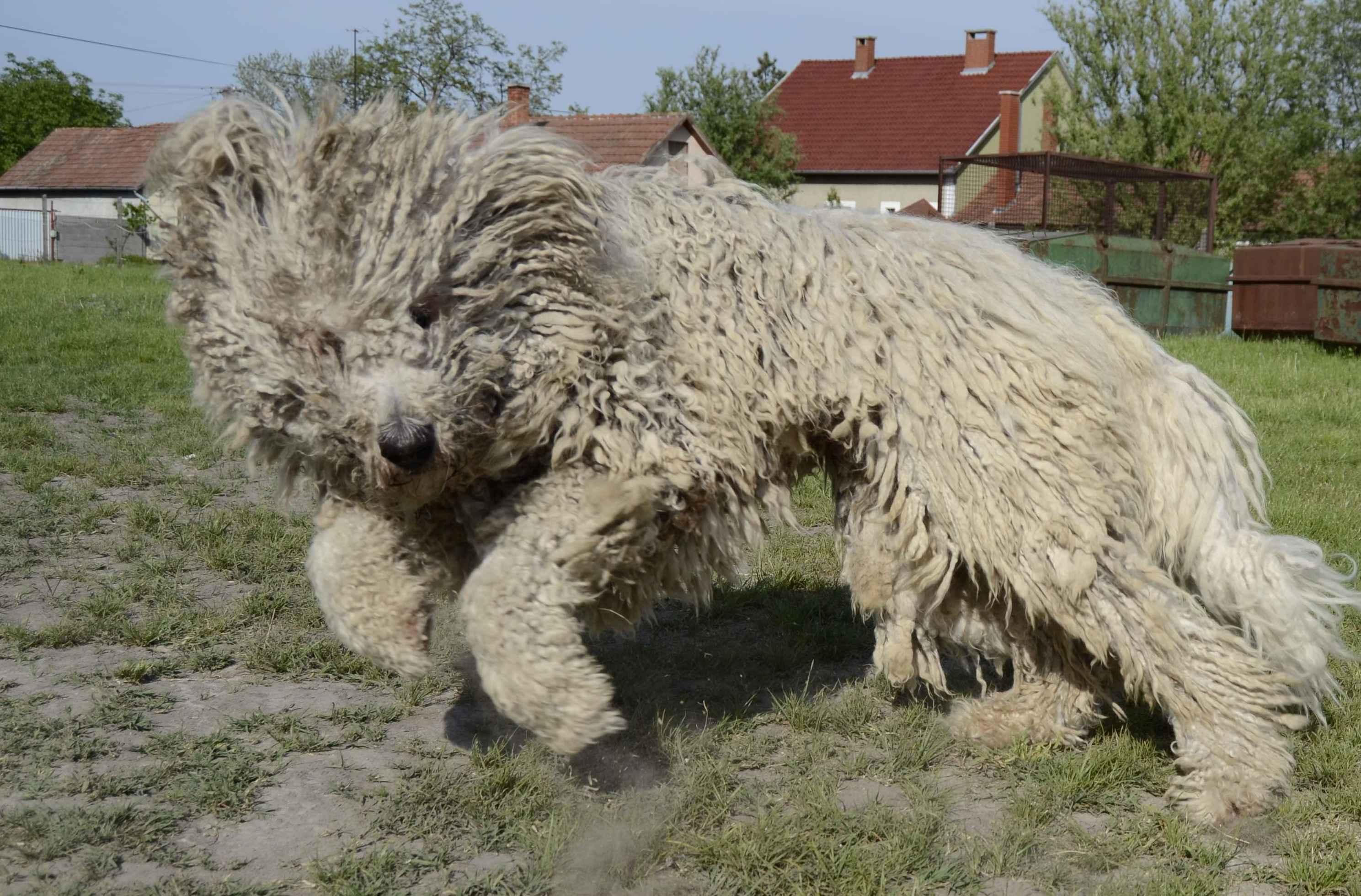 Hungarian Big Dog