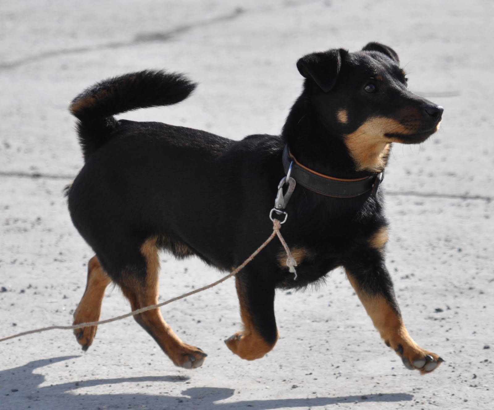 Dog Breeds With Semi Erect Ears