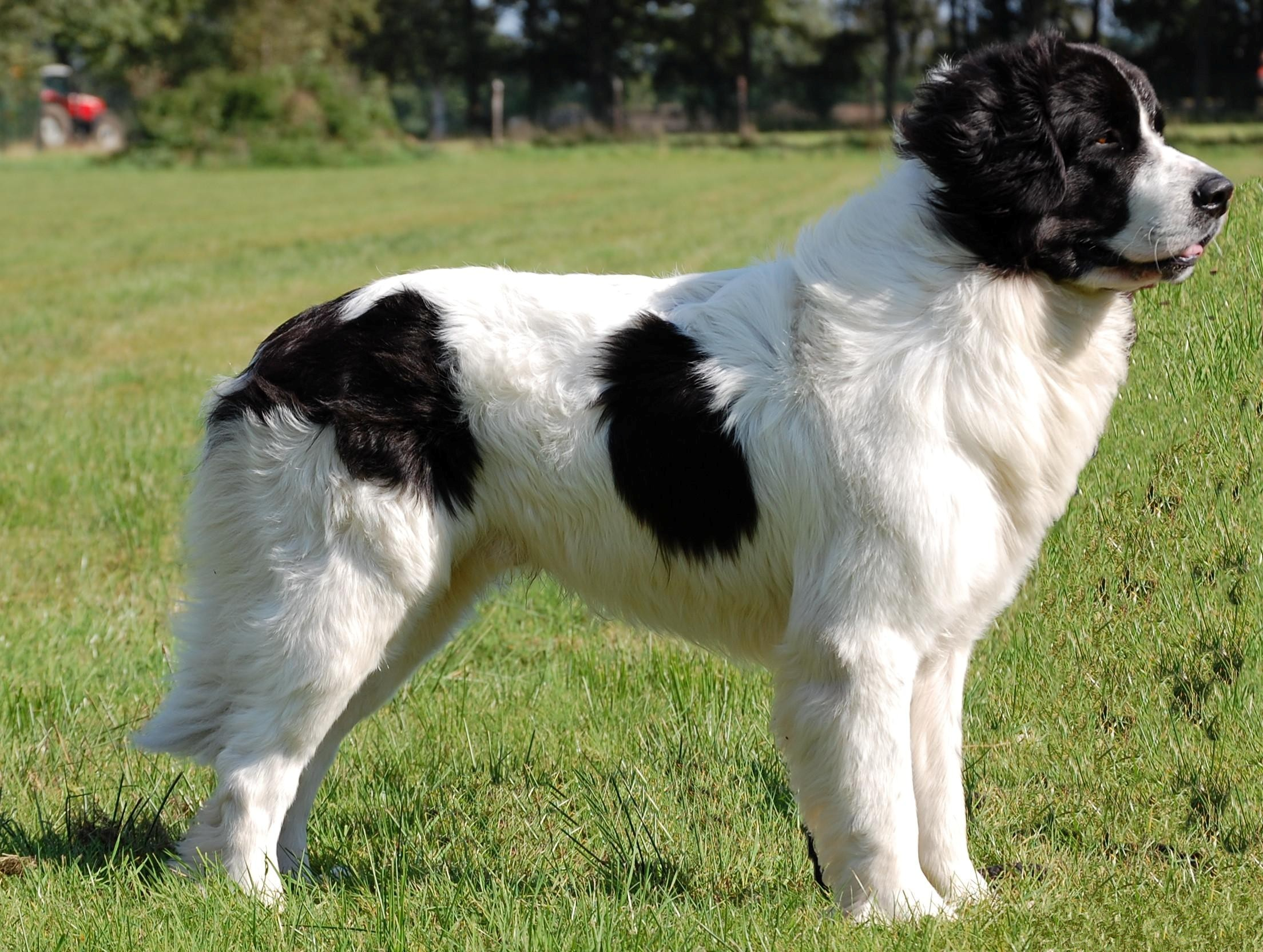Landseer History, Personality, Appearance, Health and Pictures