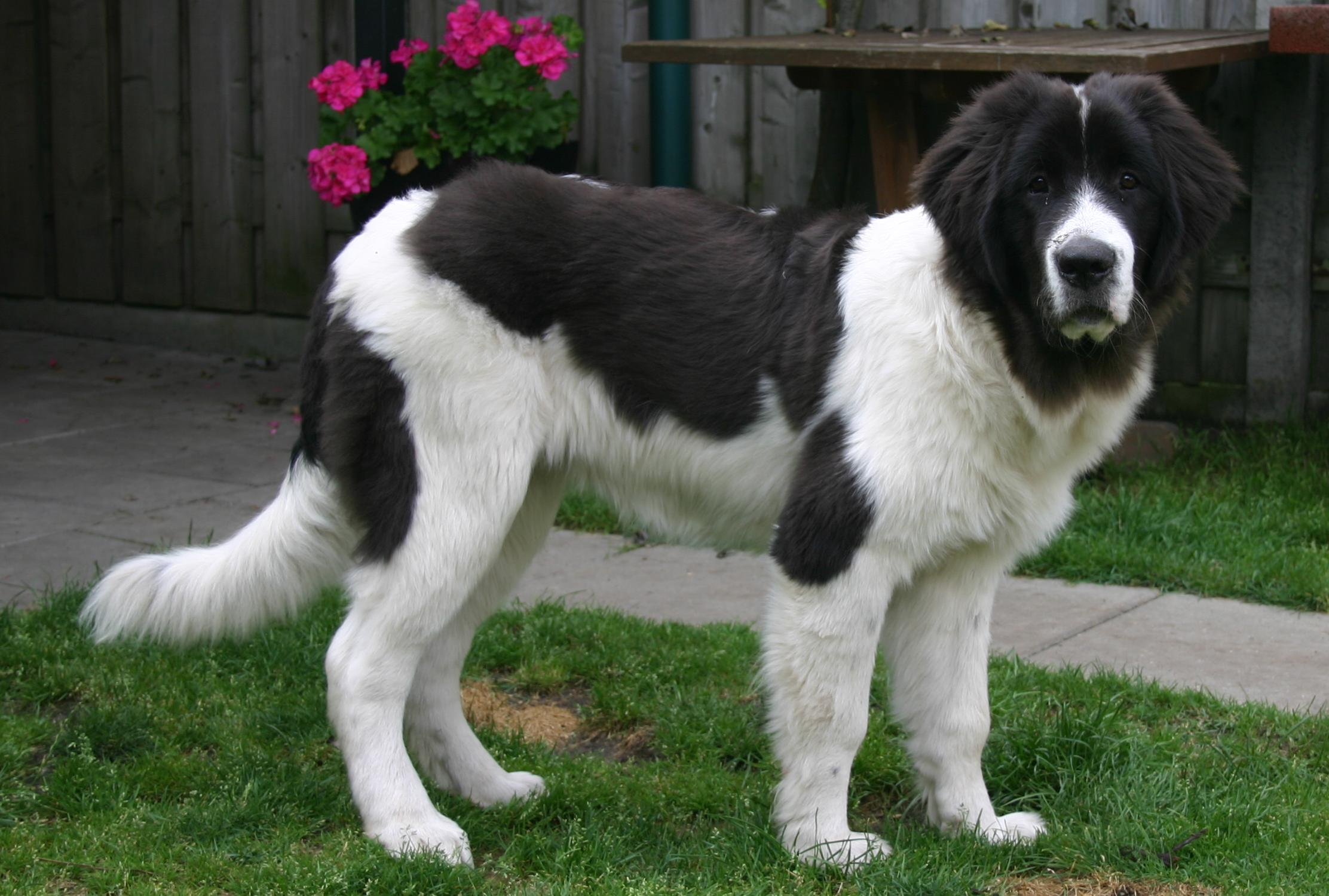 Landseer History Personality Appearance Health And Pictures