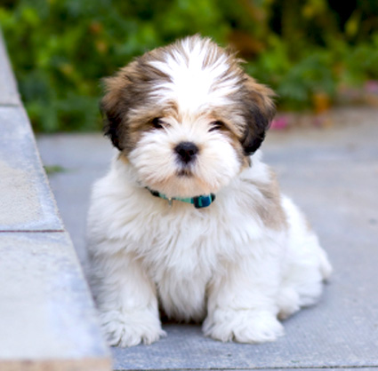 Lhasa Apso History Personality Appearance Health And
