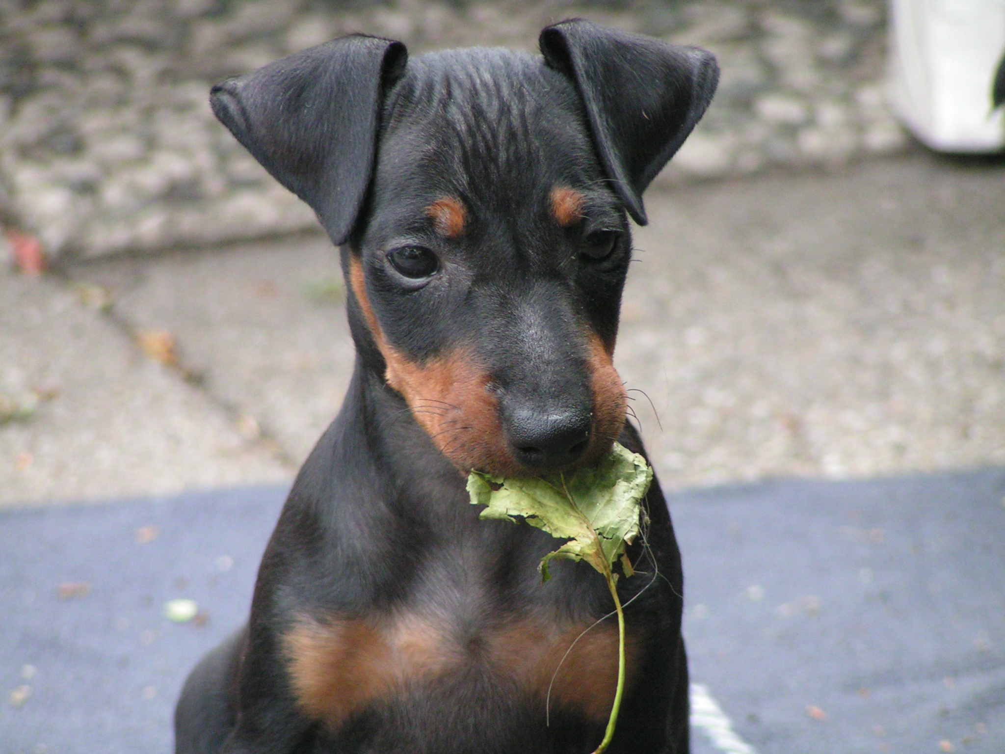 manchester terrier history personality appearance