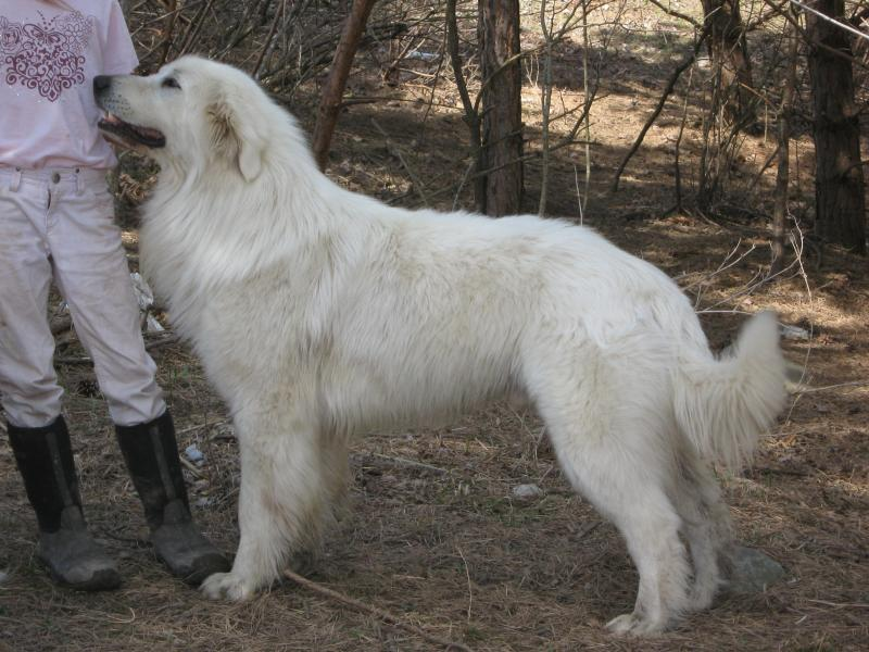 Maremma Sheepdog History Personality Appearance Health And Pictures
