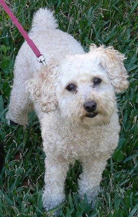 Miniature Poodle History Personality Appearance Health