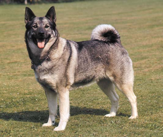Norwegian Elkhound History, Personality, Appearance ...