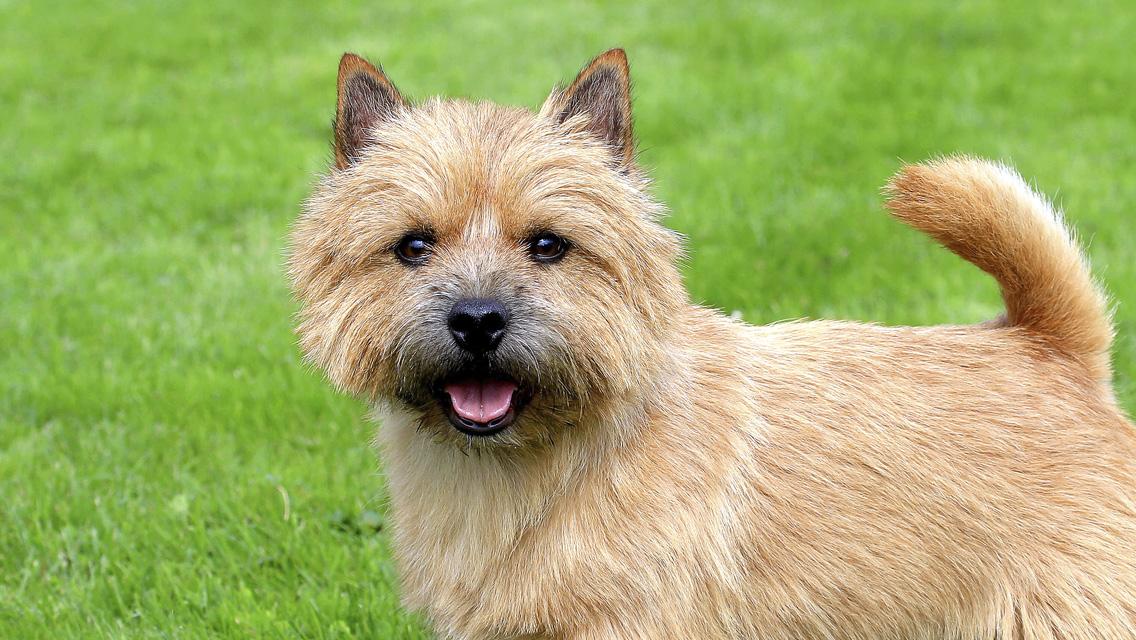 Dwarf Dog Breeds