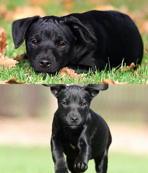 Patterdale Terrier History Personality Appearance Health And Pictures
