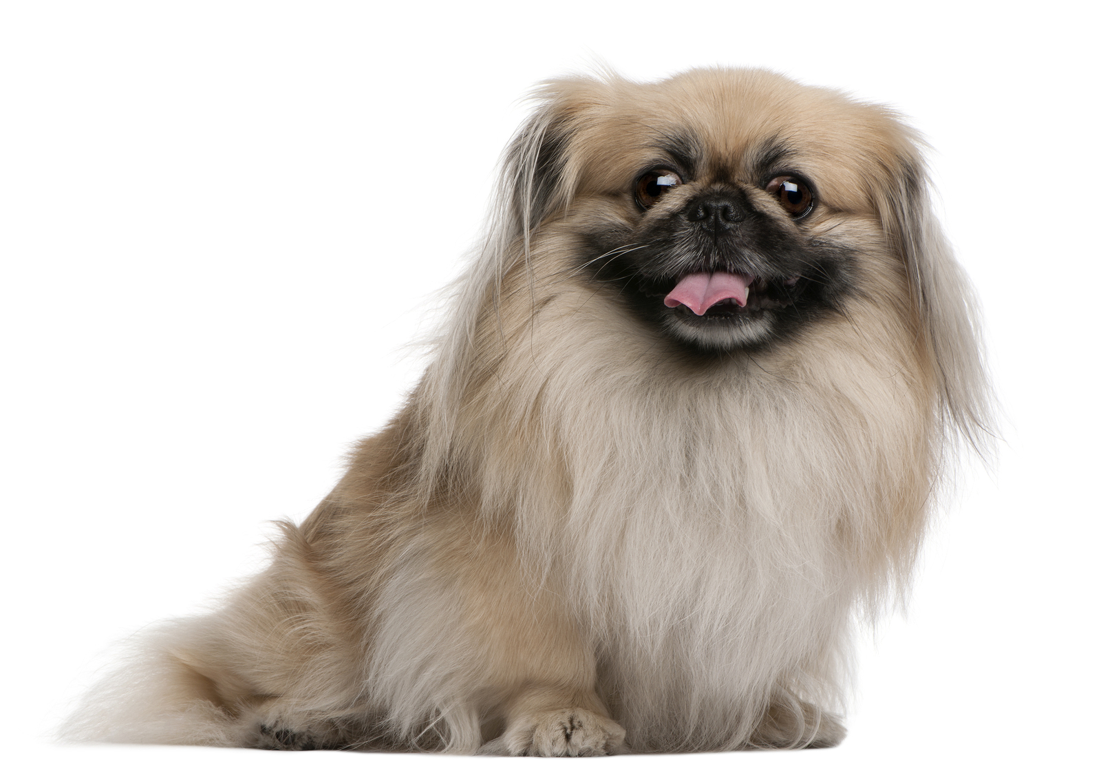 Pekingese History Personality Appearance Health And